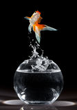 Goldfish jump Royalty Free Stock Photo