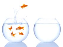 Goldfish jump. Ing from one bowl to another, on white background Stock Images
