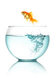 Goldfish jumping Royalty Free Stock Photos