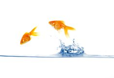 Goldfish jumping Stock Photos
