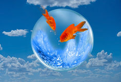 Goldfish Jumping. Royalty Free Stock Photo