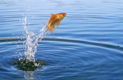Goldfish jumping Royalty Free Stock Photography