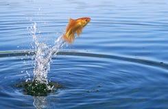 Goldfish jumping Royalty Free Stock Photography