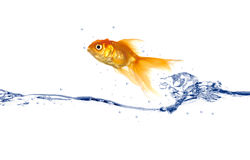 Goldfish jumping. Goldfish is jumping out of the water Royalty Free Stock Image