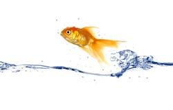 Goldfish jumping royalty free stock image