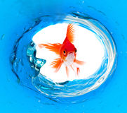 Goldfish is jumping Stock Images