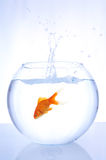 Goldfish jumping into bowl Royalty Free Stock Photo