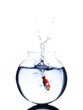 Goldfish jumping into a bowl isolated on white background Stock Photo