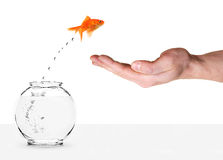 Goldfish jumping into human palm Royalty Free Stock Photography