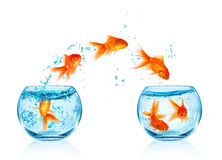 Goldfish jumping. Royalty Free Stock Image