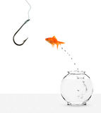 Goldfish jumping out of bowl towards empty hook Stock Photography