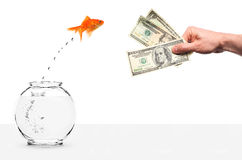 Goldfish jumping out of fishbowl temped by cash. Goldfish jumping out of fishbowl lured by money isolated on white Stock Images
