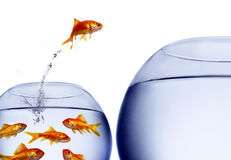 Goldfish jumping out of the water Royalty Free Stock Images