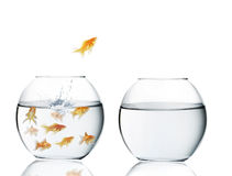 Goldfish jumping out of  water Stock Photography