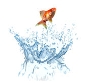 A goldfish jumping out of the water.  Stock Photos