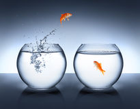 Goldfish jumping out of the water - love Stock Image