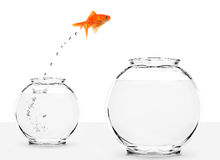 Goldfish jumping from small to bigger bowl Stock Photos