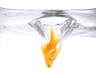 Goldfish jumping into the water Royalty Free Stock Images