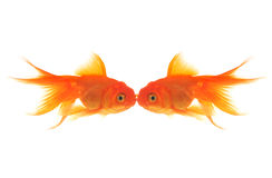 Goldfish Kiss Royalty Free Stock Photo
