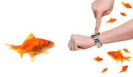 Goldfish late for work. Explaining that time is money to a goldfish Stock Images