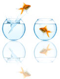 Goldfish leaping in aquarium Stock Image