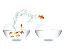 Goldfish leaping out of water Stock Image