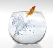 Goldfish leaping out of the water. Royalty Free Stock Image