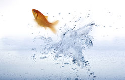 Goldfish leaping out of the water. Stock Photography