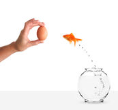 Goldfish leaping towards hand with egg bait Royalty Free Stock Photos