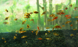 Goldfish little many Stock Photos