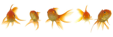 Goldfish lokking Stock Photo