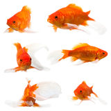 Goldfish long tail Stock Image