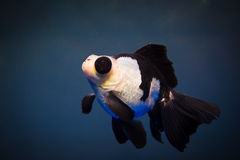 A goldfish. Look like a panda Royalty Free Stock Image