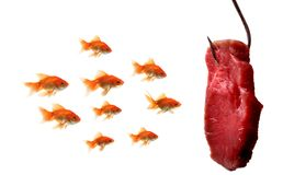 Goldfish looking at the bait Stock Photos