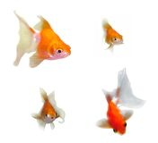 Goldfish Looking and Speaking Royalty Free Stock Photography