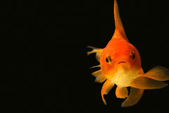 Goldfish looking at you Stock Image