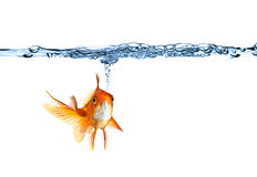 Goldfish making air bubbles Royalty Free Stock Image