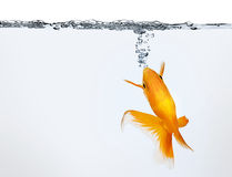 Goldfish making air bubbles Royalty Free Stock Photography