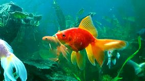 Veil tail goldfish Maybelle stretching Stock Photo