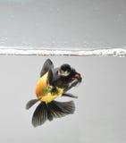 Goldfish mit Wasserluftblase Stockfotos