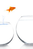 Goldfish moving Stock Photo