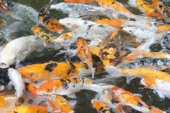 Goldfish na lagoa fotografia de stock royalty free