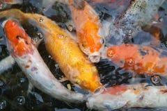 Goldfish na lagoa fotografia de stock