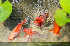 Goldfish In Natural Pond Stock Photo