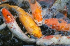 Goldfish nello stagno fotografia stock