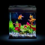 Goldfish in a night illuminated aquarium Stock Photography
