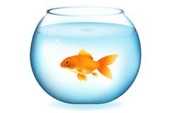 Goldfish no aquário Fotografia de Stock