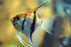 GoldFish no aquário Fotografia de Stock Royalty Free