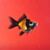 Goldfish no fundo vermelho Fotografia de Stock Royalty Free