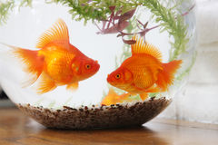 Goldfish no tanque de peixes, close-up Fotografia de Stock Royalty Free